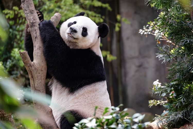 Portrait Of Panda Standing By Tree