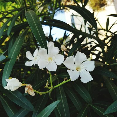 Flower Growth Fragility Nature Beauty In Nature Freshness White Color Close-up Leaf Petal Flower Head No People Branch Tree Day Outdoors