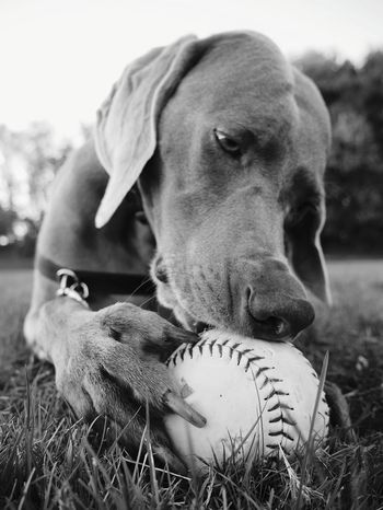 Weimaraner enjoying a ball. Weimaraner Weimaranerlove Eyemdog Playful Dog Playful Pups Gooddog Softball Dog Blackandwhite Enjoying Life