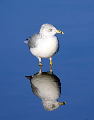 Ring-Billed Gull Animal Animal Themes Animals In The Wild Beak Bird Blue Clear Sky EyeEm Nature Lover Full Length Lake Nature No People One Animal Perching Reflection Ring-billed Gull Seagull Standing Water Tranquility Water Water Bird Water Surface Waterfront Wildlife Zoology