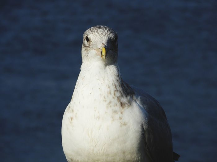Gull One Animal Animal Themes Animal Bird Animal Wildlife Animals In The Wild Vertebrate Close-up No People Animal Head
