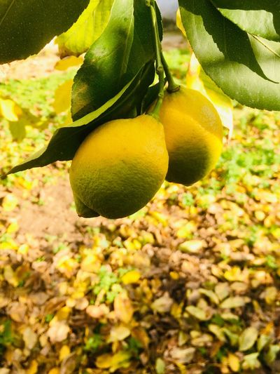 Ripe lemons on branch Food And Drink Food Fruit Healthy Eating Plant Growth Freshness Leaf Yellow Close-up Lemon Tree Lemon Fruit Tree Nature Green Color
