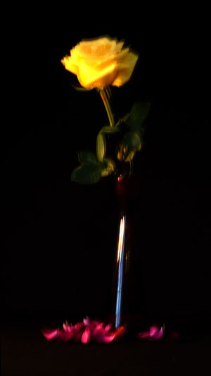 Blurred Motion Iloveblur Rose In Vase Black Background Yellow Red Black Glanz Burning Flower Nature Indoors  Studio Shot Flowering Plant Close-up No People Fire - Natural Phenomenon Vulnerability