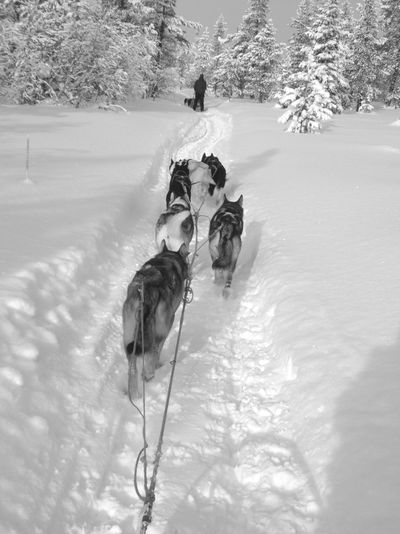 Animal Themes Animals In The Wild Beauty In Nature Black And White Cold Temperature Day Dog Dogs Dogs In The Snow Dogsled Domestic Animals Field Mammal Nature Norwegian Nature Norwegian Winter Outdoors Snow Tree Winter
