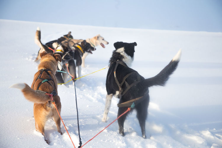 A beautiful six dog teem pulling a sled. Picture taken from sitting in the sled perspective. FUn, healthy winter sport in north. Beautiful, foggy winter morning. Winter Nature Dog Sled Dog Husky Team Race Sled Animal