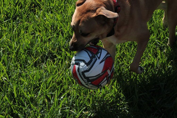 Labrador Pit Bull Playtime Animal Themes Close-up Day Dog Domestic Animals Fetch Fetching The Ball Field Grass Green Color High Angle View Mammal Nature No People One Animal Outdoors Pets Pitbull Play Playing Soccer Soccer Ball