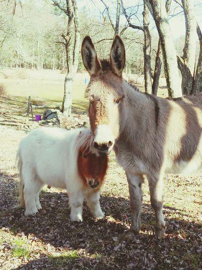 Hello World Cheese! Donkey Mini Horse Enjoying Life Horse Love