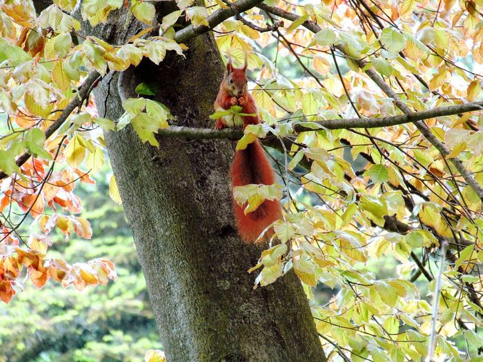 Tree Squirrel SquirrelPhotography Outdoors Beauty In Nature Close-up Capture The Moment Moment Red Springtime Treephotography Looking At Camera Outdoorphotography Forestphotography From My Point Of View Nature On Your Doorstep Naturephotography Beauty In Nature Animal Themes Animalphotography Eyeemphotography Todayphotography Leaf Quiet Places Secretspaces