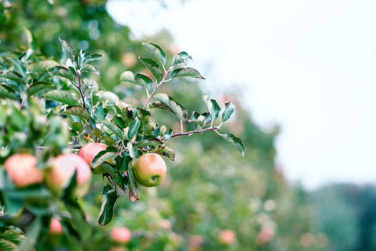 Apples growing on tree