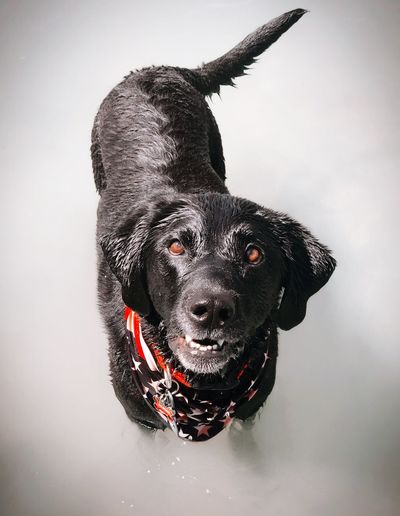 Summer Interest Dog Pets Black Labrador Labrador Retriever Close-up Day One Animal Domestic Animals Animal Themes Black Color Mammal Portrait No People Looking At Camera Indoors  Nature Charms First Eyeem Photo EyEmNewHere