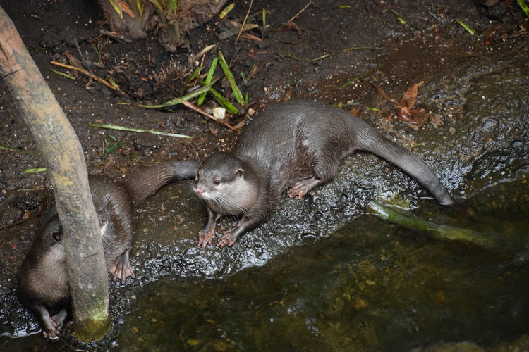 High Angle View Of Otters
