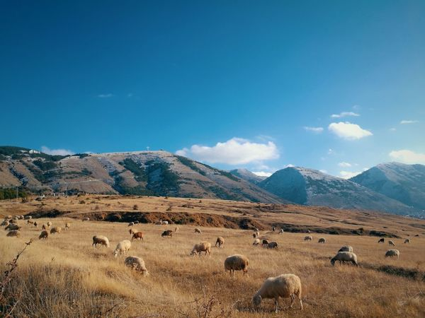 no comment Leicacamera HuaweiP9 Albania Animal Themes Domestic Animals Agriculture Nature Mountain Range Animals In The Wild Sky No People Beauty In Nature Snow Blue