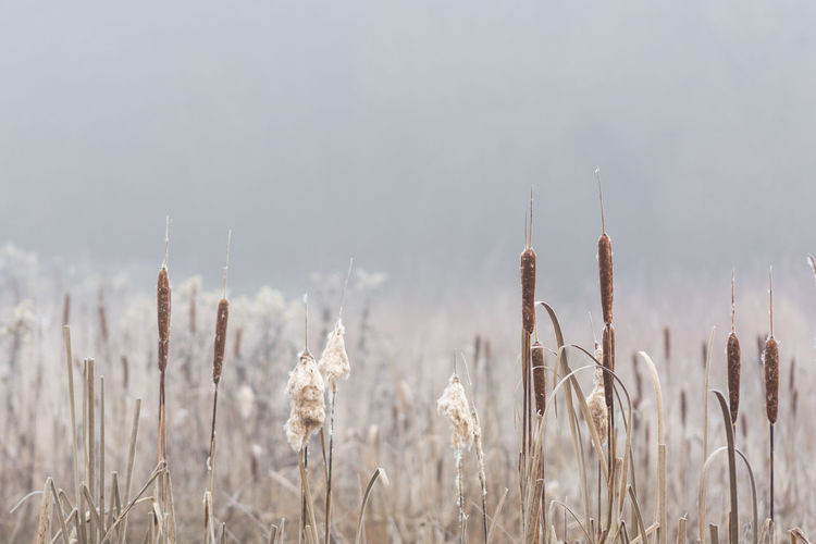 Beauty In Nature Cattail Close-up Day Field Frost Grass Growth Nature Nebel No People Outdoors Plant Schilf Sky Tranquility