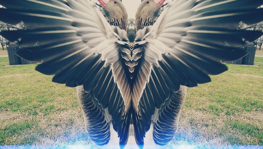 Goosebumps Feathers Flight Goose Art Photography Photos Around You OpenEdit Lake Birds