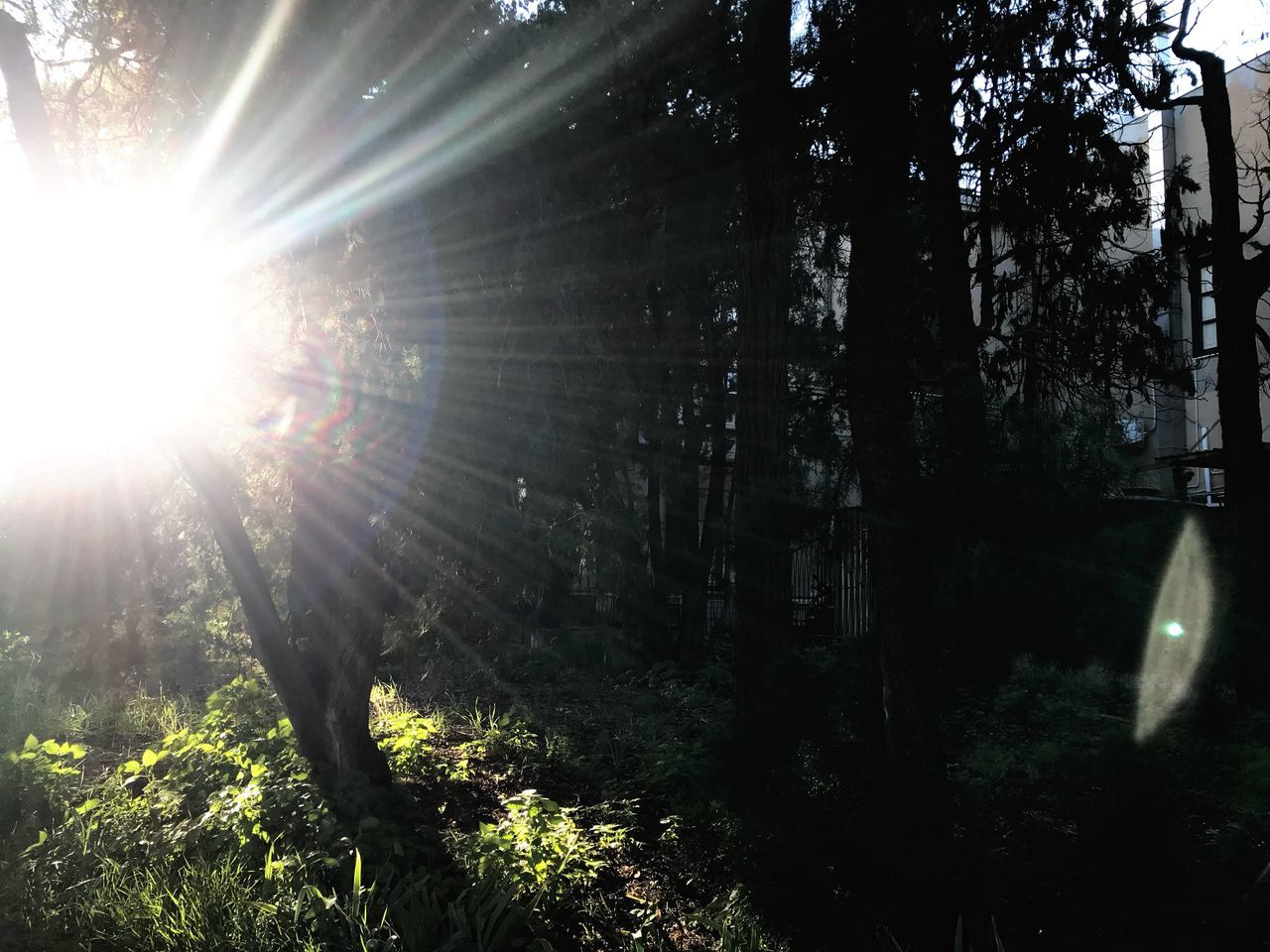 sunlight, plant, tree, lens flare, sunbeam, forest, nature, land, growth, beauty in nature, tranquility, sun, day, no people, sunny, trunk, sky, woodland, tree trunk, tranquil scene, outdoors, streaming, bright, brightly lit, solar flare