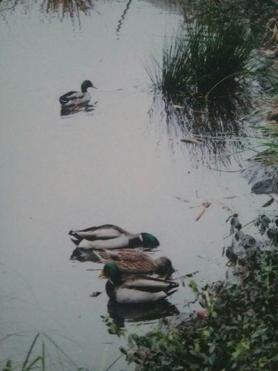 Taking Photos Ducks Duck Pond CentralPark Central Park