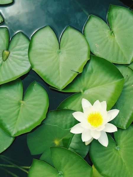 Color Palette Seerose Waterlily Waterlilies Waterlilypond Pond Teich Ruhe Calm Nature White Green Clarity Peace Growth World Klarheit Relaxation ASIA Asien Mainz Botanical Gardens Heart Herz Heartleaf