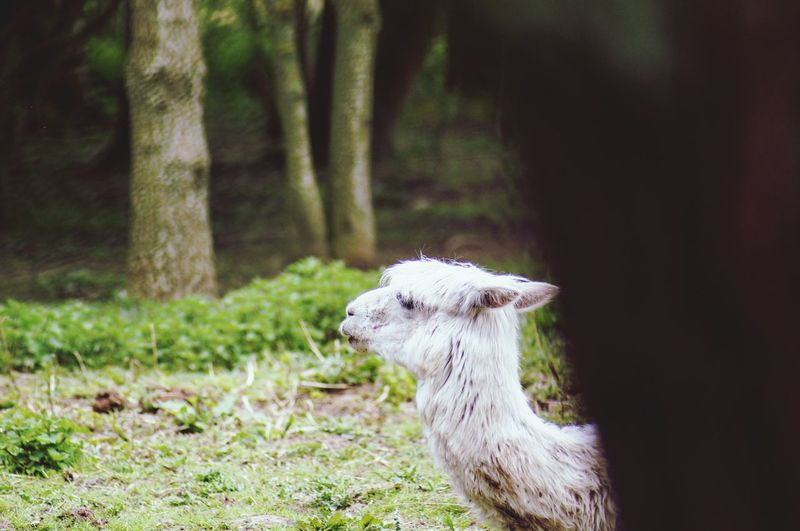 Llama appearing from behind a tree. Tree Trunk White Color Nature_collection Popular Photos EyeEm Best Shots Headshot Side View Close-up Outdoors Beauty In Nature Ears Back Llama Pets Animal Themes Animal One Animal Vertebrate Animal Wildlife Mammal Plant Tree Land Field Looking Livestock Nature Day No People Focus On Foreground Forest
