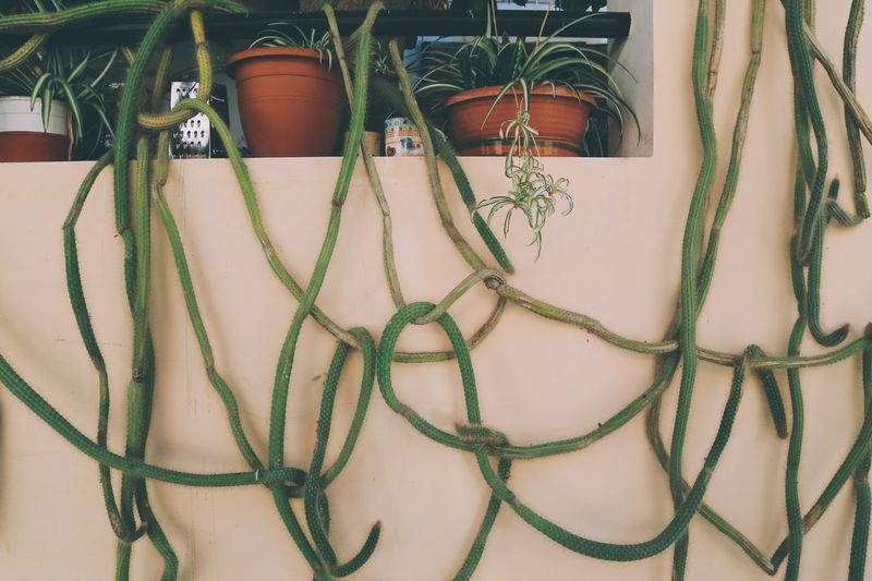 Climbing cactus plant Hanging Out Growing Wild Growth Process Snake Like Climbing Plant Potted Plants Pots Wild Plant Cactusplants Spiked Botany Full Frame Wild Plants Cactus Green Color No People Pattern Close-up Indoors  Day Plant Chain Wall - Building Feature Potted Plant Plant Part Architecture Leaf Nature Growth Decoration