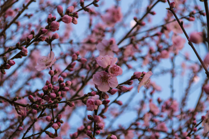 Plant Growth Flower Tree Flowering Plant Beauty In Nature Branch Fragility Freshness Blossom Springtime Vulnerability  Pink Color Nature No People Twig Day Focus On Foreground Close-up Low Angle View Outdoors Cherry Blossom Cherry Tree Plum Blossom Flower Head Spring Peach Blossom Peach Tree Pink