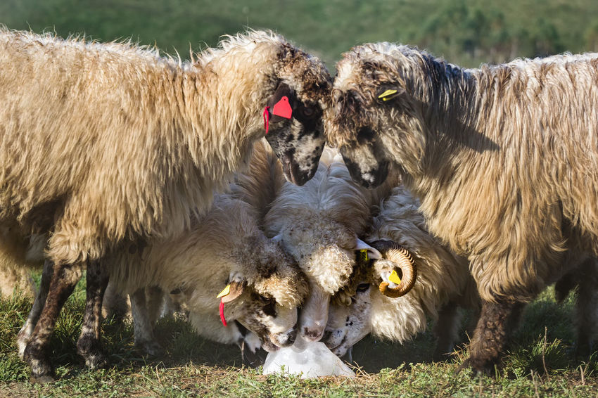 Grass Livestock Morning Natural Animal Themes Crumbs Day Domestic Animals Farming Field Flock Of Sheep Fur Group Of Animals Herd Horned Land Mammal Meadow Nature Outdoors Pasture, Paddock, Grassland, Pastureland Rural Scene Salt - Mineral Summer Togetherness