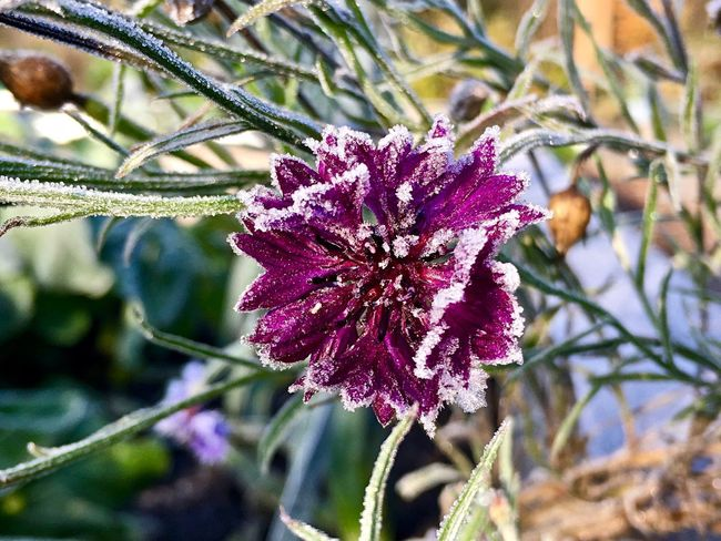 Soft rime on lilac cornflower EyeEmNewHere  Lilac Cornflower Frost Soft Rime Flower Beauty In Nature Nature Fragility Day Freshness Cold Temperature