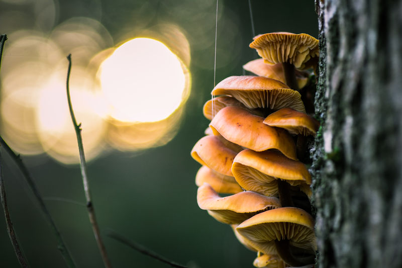 Mushrooms on a three in orange with gorgeous smooth and silky bokeh Beauty In Nature Bokeh Bokeh Photography Close-up Focus On Foreground Growing Growth Mushroom Collection Mushroomphotography Mushrooms Mushrooms On A Tree Mushrooms 🍄🍄 Nature No People Outdoors Selective Focus Sun Tranquility