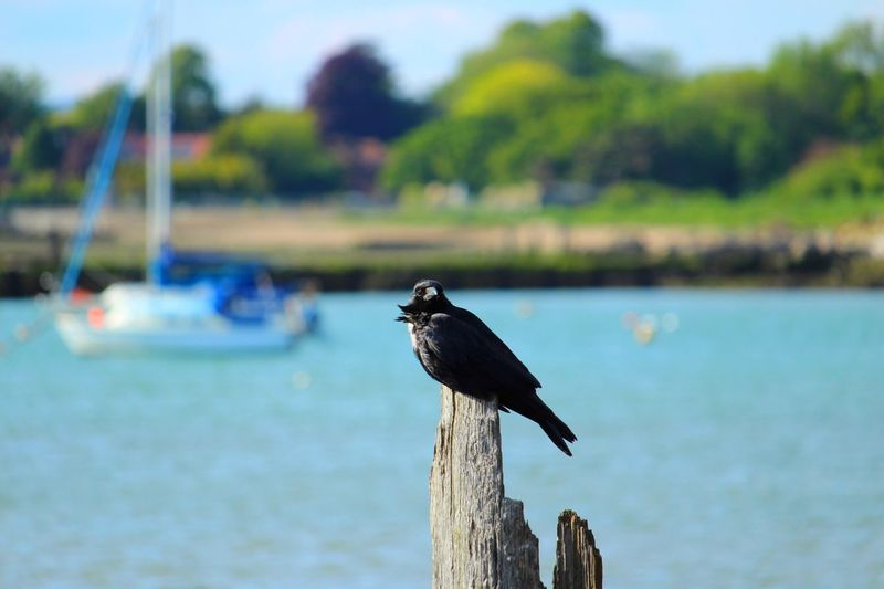 Crow Bird Animal Animals In The Wild Animal Themes Animal Wildlife Vertebrate One Animal Water Focus On Foreground Perching Day Nature Tree Wood - Material Outdoors Plant Post Wooden Post