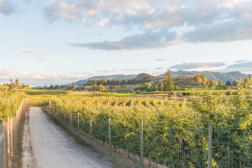Landscape view of pathway through apple orchards and vineyards in summer at sunset British Columbia, Canada July Kettle Valley Rail Trail Munson Mountain Naramata Naramata Bench Okanagan Valley Path Agriculture Apple Trees  Evening Golden Light Landscape Nature Orchard Outdoors Rural Scene Sky South Okanagan Summer Sunset Trail Tranquil Scene Tranquility Vineyard