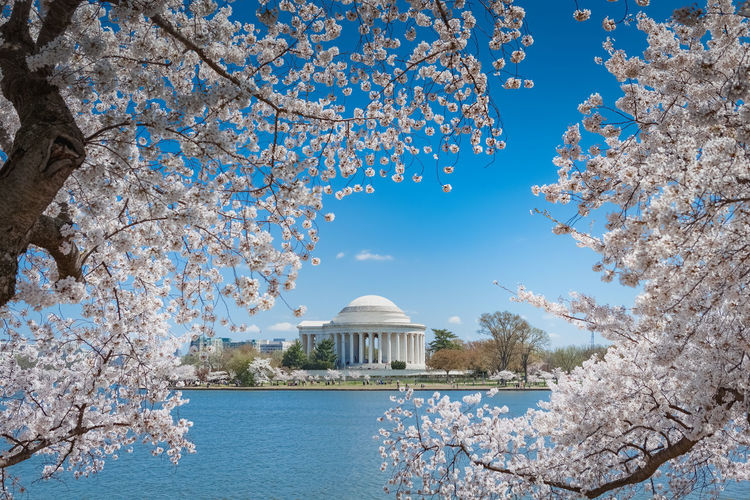 White cherry blossom trees in full bloom on the Tidal Basin framing the Jefferson Memorial Cherry Blossom Festival Cherry Blossoms Nature Washington, D. C. Architecture Beauty In Nature Branch Built Structure Dome Floral Flower Flowers Growth Jefferson Memorial Landmark Outdoors Outside Sky Spring Springtime Springtime Blossoms Travel Destinations Tree White
