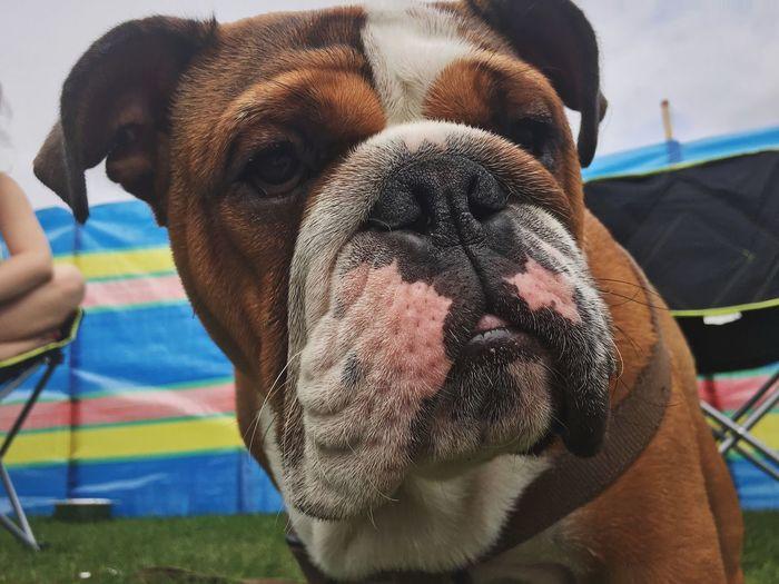 Reggie Dog Pets Mammal Domestic Animals Animal Themes One Animal Day English Bulldog Close-up Outdoors EyeEmNewHere Summer Exploratorium The Great Outdoors - 2018 EyeEm Awards