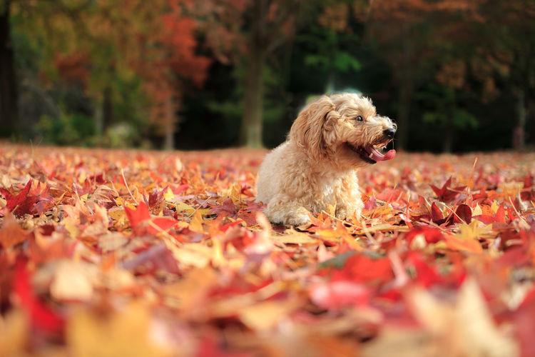 Surface Level Of Dog Lying On Autumn Leaves