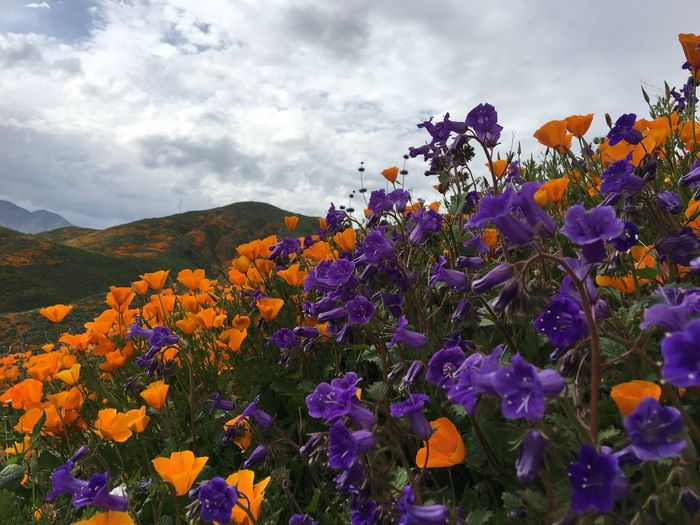 Flowering Plant Flower Beauty In Nature Plant Vulnerability  Fragility Freshness Sky Inflorescence Mountain Flower Head Cloud - Sky Close-up No People Growth Multi Colored Purple Day Petal Nature