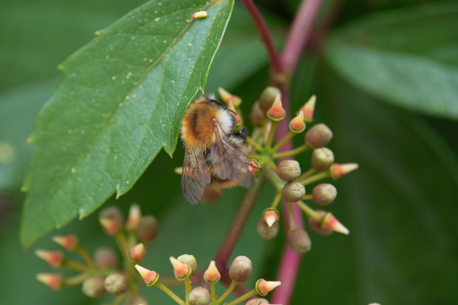Bumblebee Bombus Pascuorum Ackerhummel Schutz Protection Parthenocissus Wilder Wein Animal Beauty In Nature Close-up Creeper Plant Insect Nature Plant Pollination