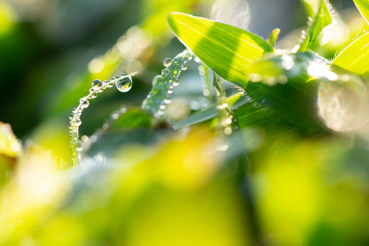 Dew drops in