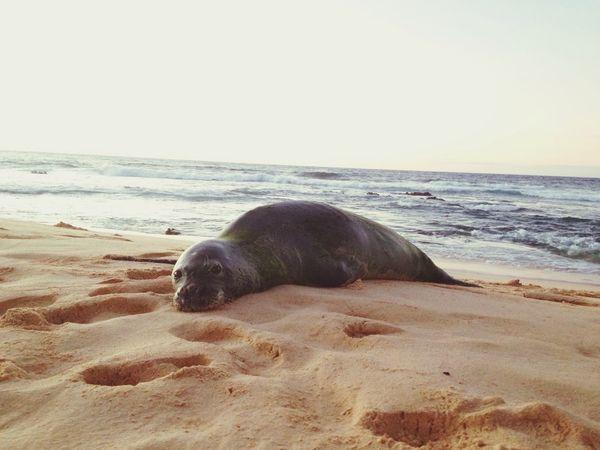 Hawaiian monk seal.☀️