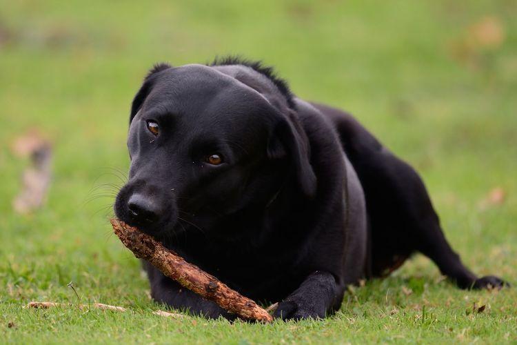 Portrait of black labrador with stick on grassy field
