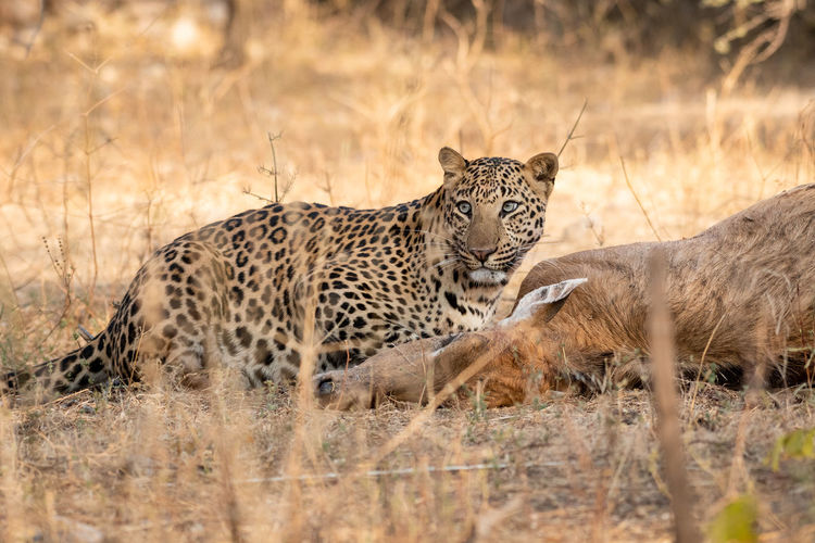 Leopard eating deer