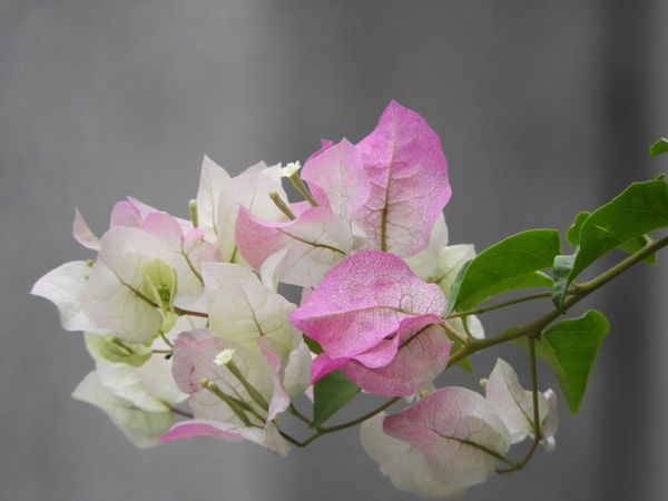 Pink 🌸 in white Flower Flower Head Pink Color Leaf Gray Background Close-up Plant