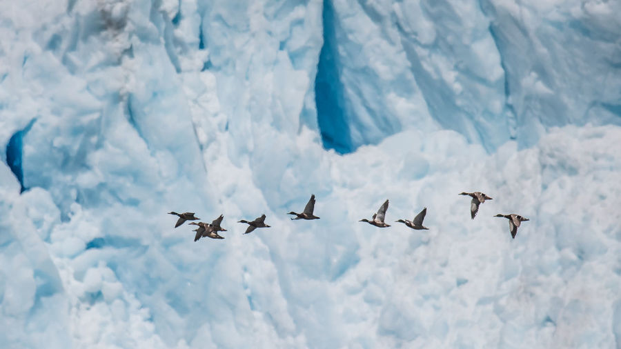 Ducks Flying Against Glacier