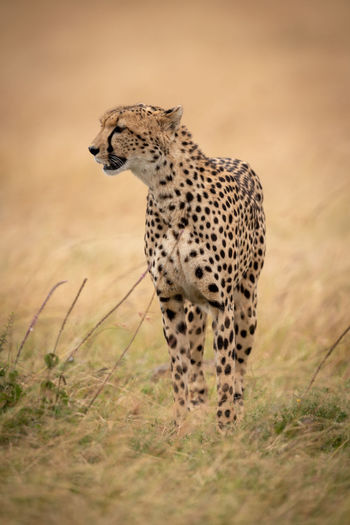 Cheetah on grassy field