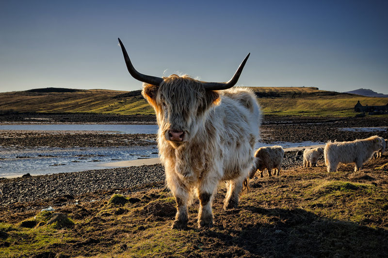 Agriculture Animal Themes Beach Cows Day Domestic Animals Full Length Highland Cattle Island Livestock Nature No People Outdoors Scottish Highlands Water
