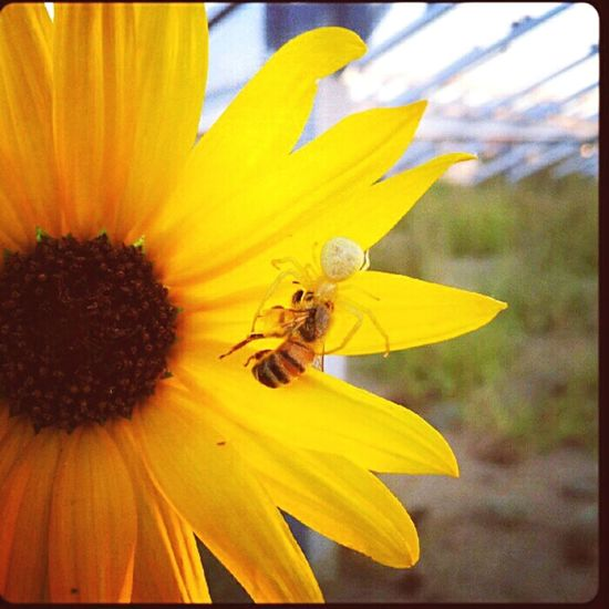 Paint The Town Yellow Yellow Flower Yellow Color Insects  Bee 🐝 Spider Nature Honey Bee Outdoors Predator And Prey Beauty In Nature Onlythestrongsurvive Outdoor Photography