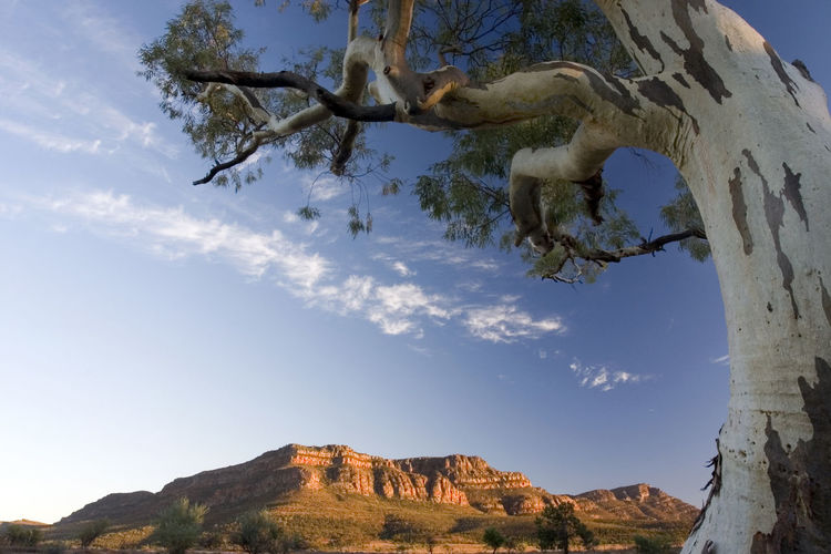 Low angle view of  tree in the flinders rangers
