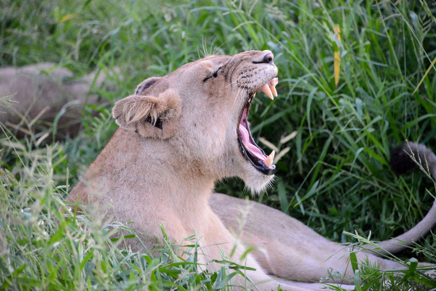 Safari in Hlane Royal National Park in Swaziland. Hlane Hlane Royal National Park Lion National Park Swaziland  Wildlife & Nature Animal Themes Animals In The Wild Grass Lion - Feline Lioness Mouth Open One Animal Outdoors Roaring Safari Yawning