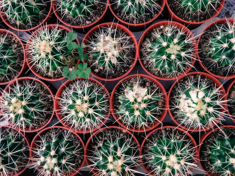Cactus 🌵 Nature Photography Nature_collection Nature_lovers Cactus Cactus Flower Cactus Garden Backgrounds Full Frame Arrangement Pattern In A Row Barrel Cactus Spiked Sharp Needle - Plant Part Aloe Vera Plant Plant Life