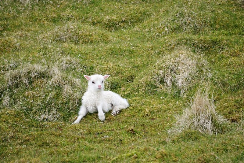 White Lamb Relaxing On Grassy Field