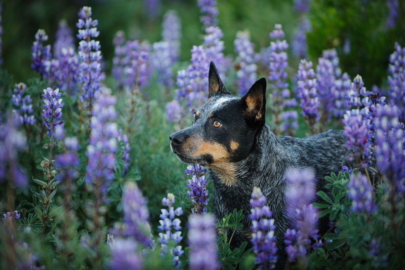 Australian Cattle Dog portrait in field of lupine flowers One Animal Dog Canine Animal Domestic Pets Purple Animal Themes Flowering Plant Plant No People Day Looking Away Nature Looking Animal Head  Outdoors Purebred Dog Flower Domestic Animals Australian Cattle Dog Cattle Dog Heeler Blue Heeler Lupine Lupine Flowers