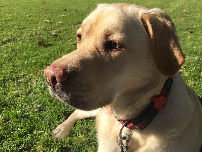 Stare down Dog Pets Domestic Animals One Animal Animal Themes Mammal Grass Pet Collar Day Outdoors No People Nature Labrador Golden Labrador Miltonbiscuit Alert Dog Close-up Smelling