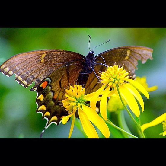 Cadescove SmokyMountains Nationalpark Insect Butterfly Butterflies Macro Magnify Nikon Nature Nikor 300mm Zoom Outside Outdoors MyDayOff